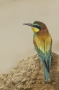 (European) Bee-eater - back view
