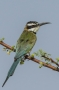 White-throated Bee-eater - back view