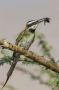 White-throated Bee-eater - front view