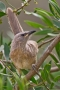 Arabian Babbler - young