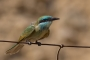 Little Green Bee-eater - young