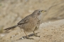 Arabian Babbler - female