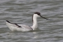 (Pied) Avocet - young