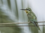 Blue-cheeked Bee-eater - female